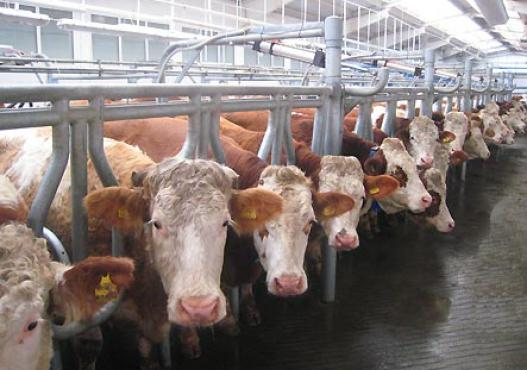 Fleckvieh Kühe in Stall in Sibirien