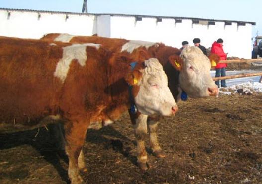 Fleckvieh Kühe in Freilaufstall in Sibirien