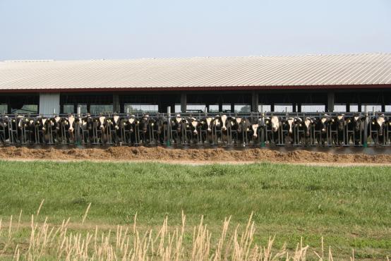 Kühe Holstein in Stall