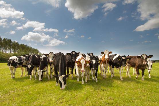 Kühe gemischt auf Wiese