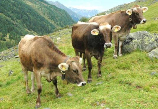Kühe Braunvieh auf Almwiese