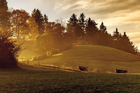 Kühe Braunvieh auf Wiede Morgensonne