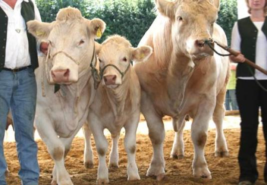 Kühe Charolais