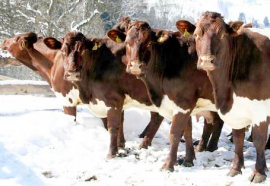 Kühe Pinzgauer im Schnee