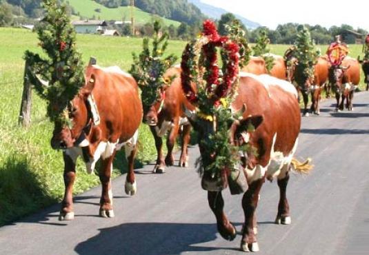 Kühe Pinzgauer beim Almabtrieb