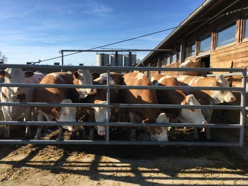 Cattles fleckvieh behind grid