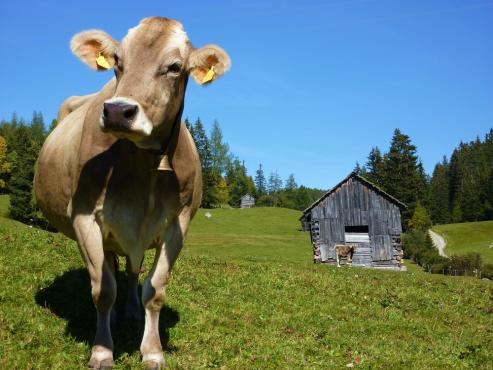 Single brown swiss in the pasture