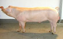 Pig photo from a Landrace