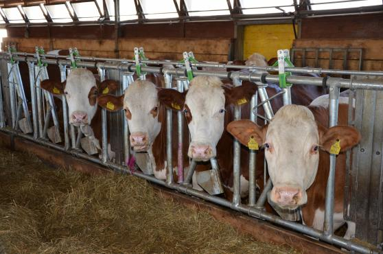 Cattles fleckvieh derrière la grille dans une écurie