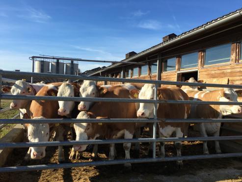 Cattles fleckvieh derrière la grille