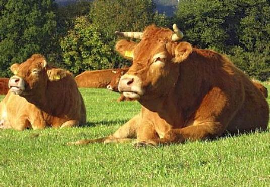 Limousin allongé dans le pâturage