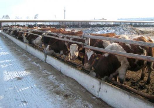 Cattles Fleckvieh dans une écurie à l´air libre en Sibérie