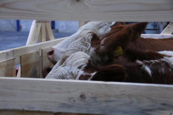Cattles u transportnoj kutiji
