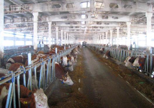 Cattles Fleckvieh u stoku u Sibiru