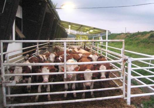 Hranjenje stoke u staji
