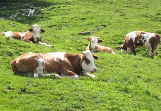 Austrijsko uzgoj stoke