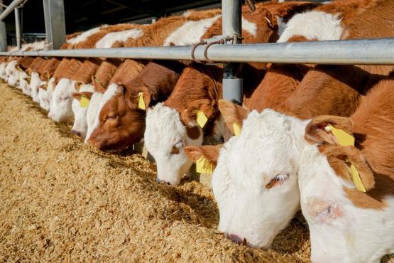 Кормление крупного рогатого скота в конюшне