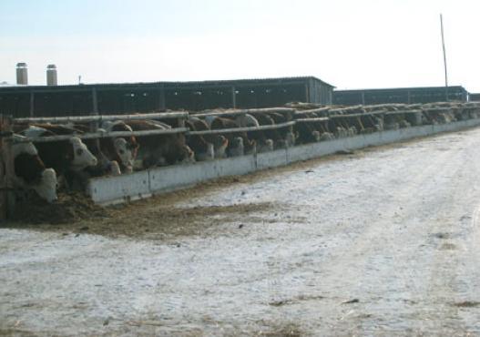 коровы в свободном воздухе, стабильные в Сибири
