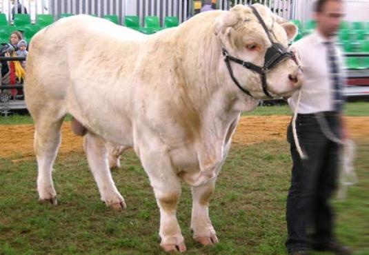Шароле бык