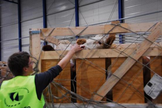 Скот в транспортной коробке