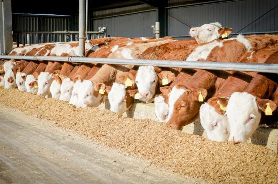 Sığırlarda istikrarlı besleme