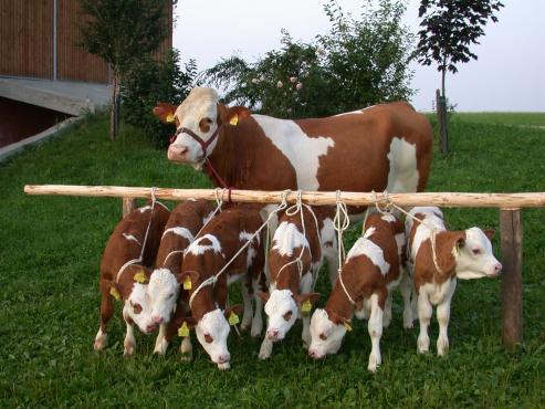 Beş buzağı ile Fleckvieh anne inek
