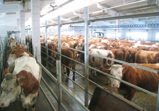 Sibirya´da istikrarlı Cattle Fleckvieh