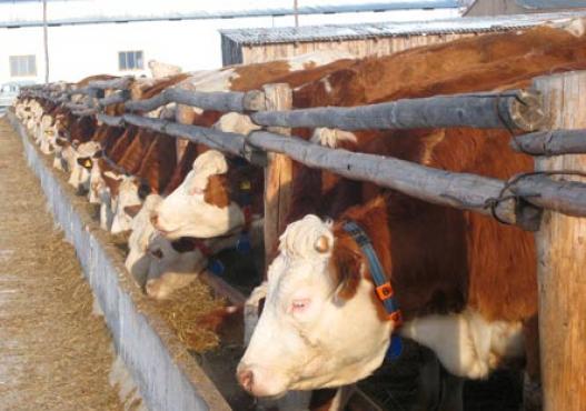Sibirya´da serbest havadaki Cattle Fleckvieh